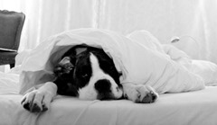 stockvault-dog-sleeping-in-bed131802